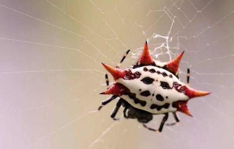 Araña panadera