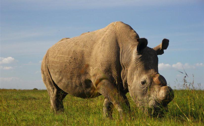 Muere el último macho de rinoceronte blanco norteño