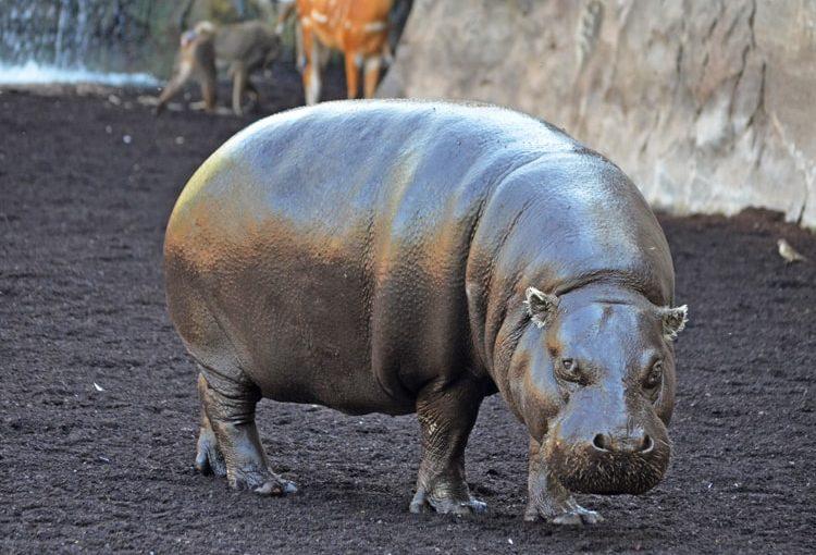 Hipopotamo Pigmeo (Choeropsis liberiensis)