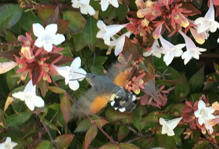 Esfinge Colibrí   (Macroglossum Stellatarum)