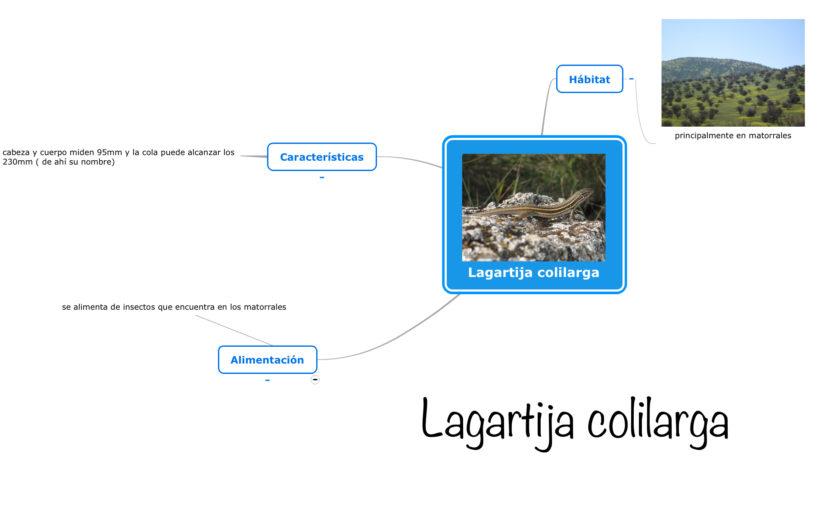 Esquema Lagartija colilarga
