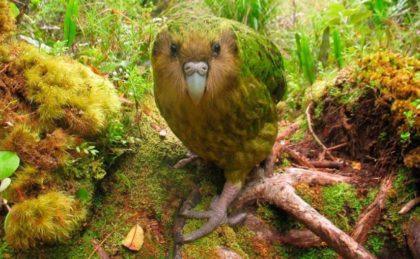 Kakapo o kakapu