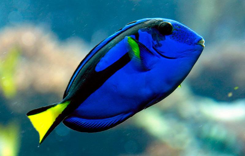 Pez cirujano azul (Paracanthurus hepatus)
