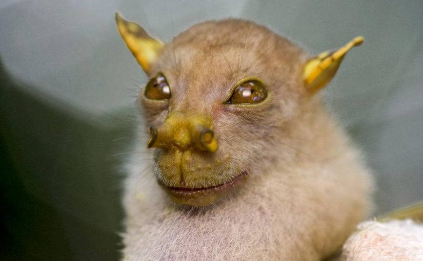 Murciélago yoda o murciélago de nariz tubular (Nyctimene papuanus)