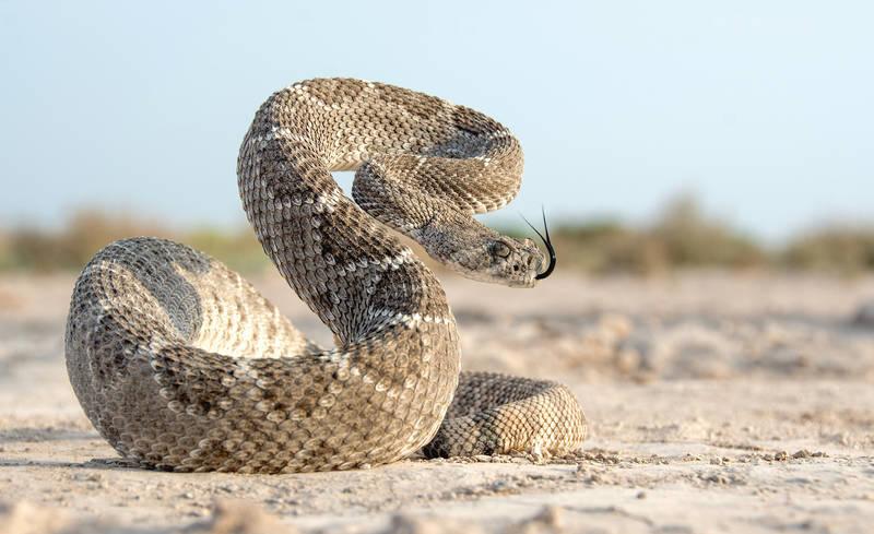 Serpiente de cascabel (Crotalus)
