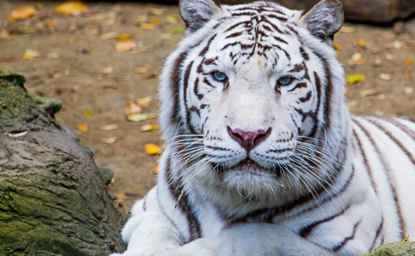 Tigre blanco (Panthera tigris tigris o Panthera tigris altaica)