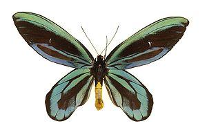 Mariposa alas de pájaro reina alejandra (Ornithoptera alexandrae)