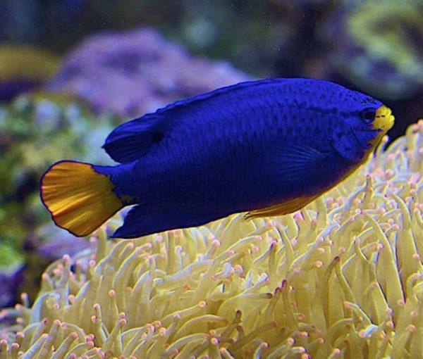 Pez damisela azul o damisela azul (a secas) (Chrysiptera cyanea)